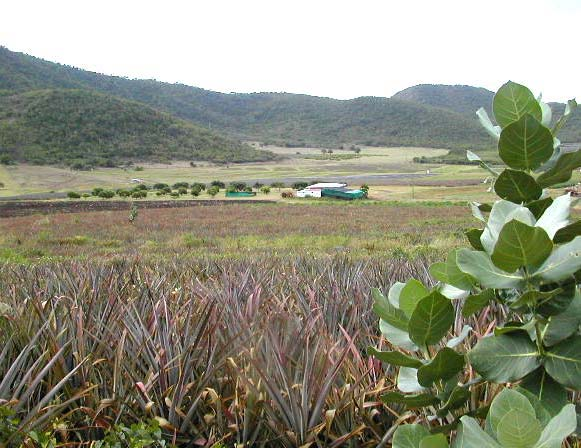 Cades Bay Pineapple farm