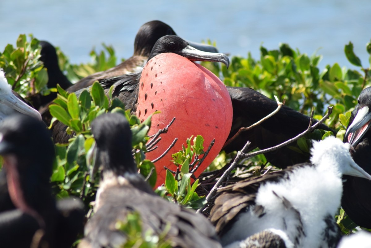 Frigate bird in Barbuda
