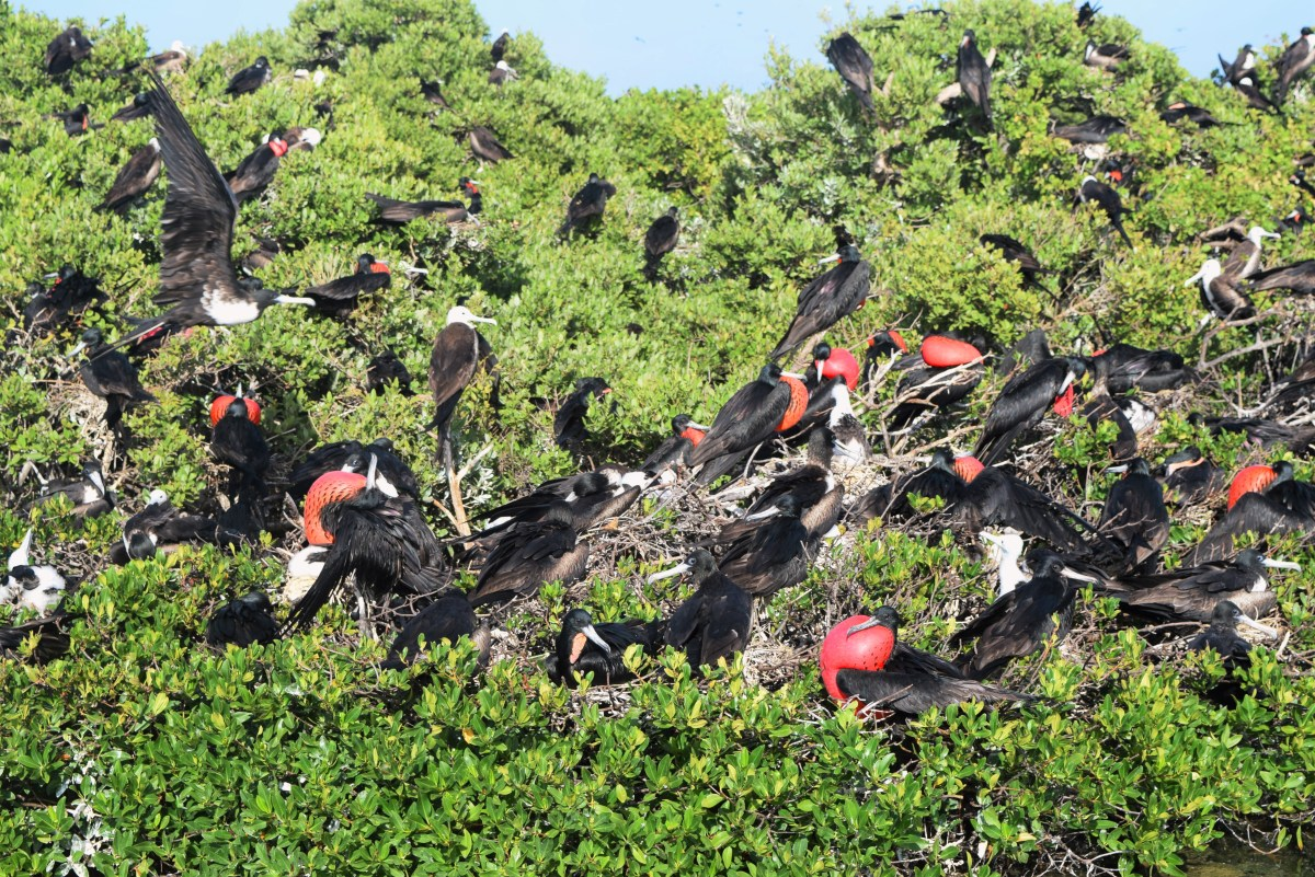Barbuda Frigate Bird Sanctuary