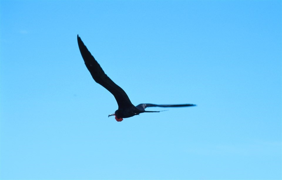 Frigate bird in flight