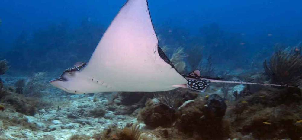 Jolly dive stingray