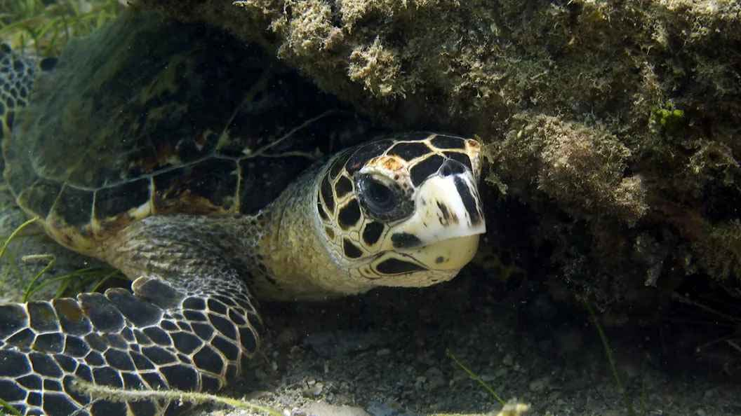 Jolly dive turtle