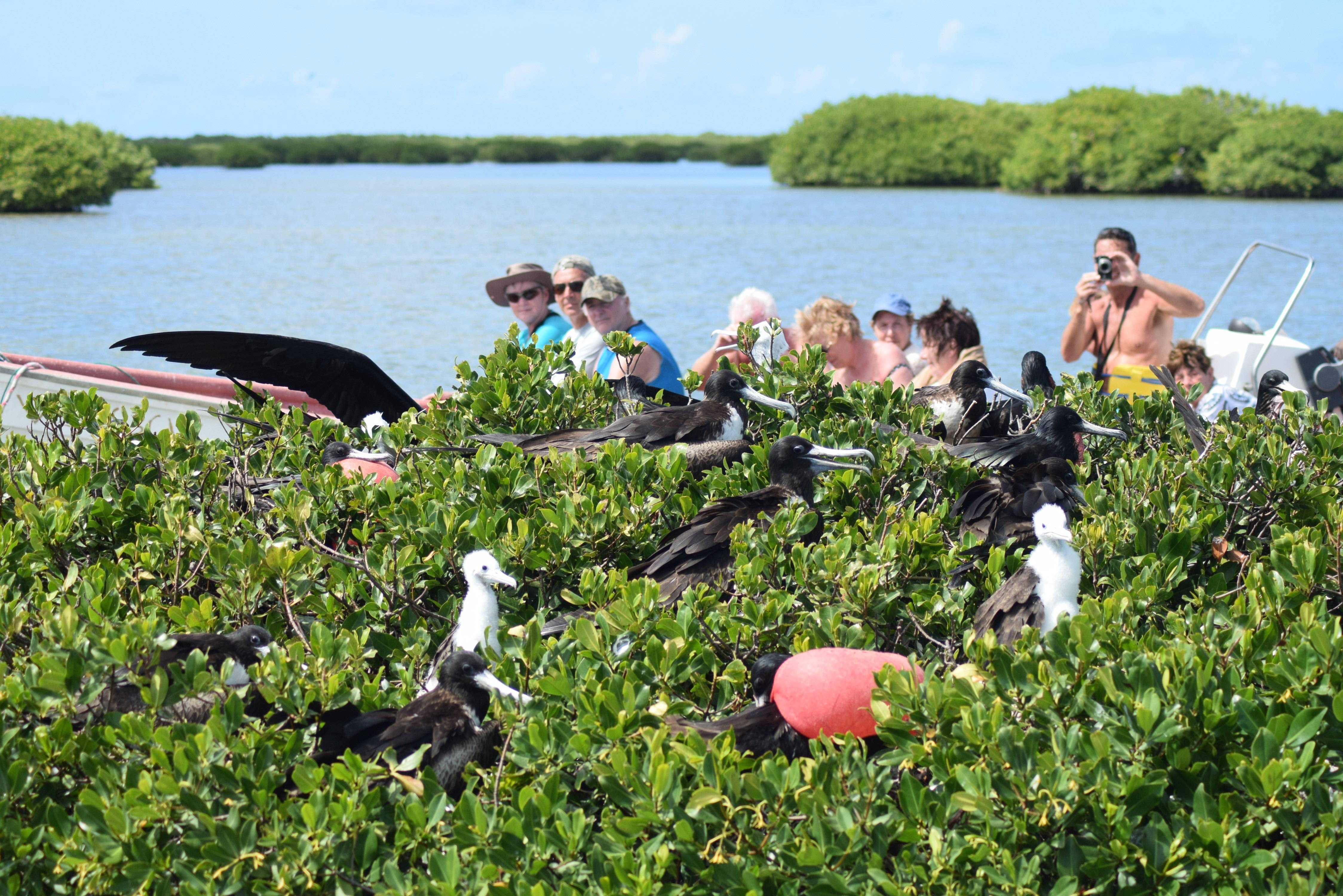 barbuda-express-frigate-birds